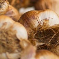 Aged Garlic